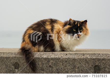 端莊的三毛流浪貓 73107815
