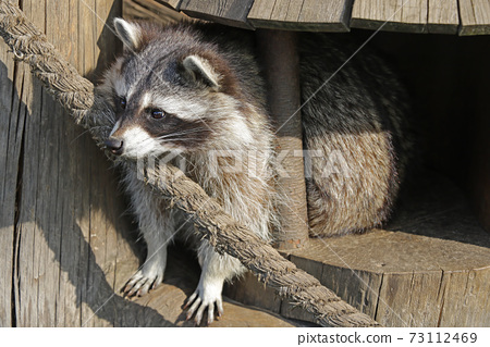 A beautiful raccoon sits in a wooden treehouse and looks down. 73112469