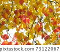 Nankin Hazeno的鮮紅色的秋天的葉子很漂亮 73122067