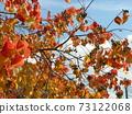 Nankin Hazeno的鮮紅色的秋天的葉子很漂亮 73122068