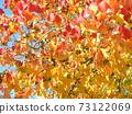 Nankin Hazeno的鮮紅色的秋天的葉子很漂亮 73122069