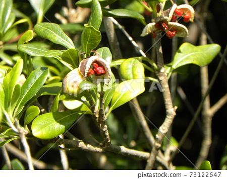 열매가 튀어 붉은 점막에 싸여 종을 보였다 돈나무 73122647