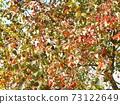 Nankin Hazeno的鮮紅色的秋天的葉子很漂亮 73122649