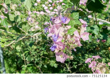 盛開的紫洋傘花 73125134