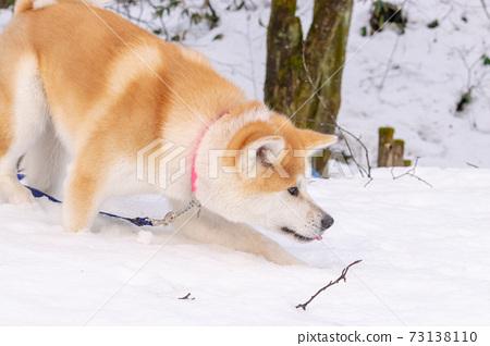 秋田犬在雪地裡玩 73138110