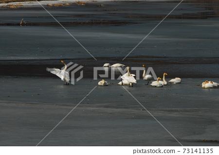 경안천습지공원.철새들의,큰고니,겨울새 73141135