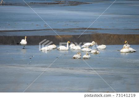 경안천습지공원.철새들의,큰고니,겨울새 73141219