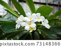 Plumeria white, very beautiful. 73148366