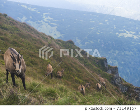 Group of Tatra chamois, rupicapra rupicapra tatrica standing on a summer mountain meadow in Low Tatras National park in Slovakia. Wild mamal in natural habitat, nature photography. 73149157