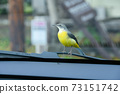 Gray wagtail parked on a car wiper 73151742
