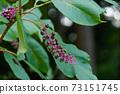 Burdock fruit 73151745