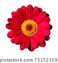 Zinnia flower 73152359