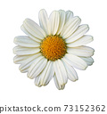 Flower of oxeye daisy 73152362