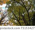 Jingu Ginkgo Trees Ginkgo Trees 73153427