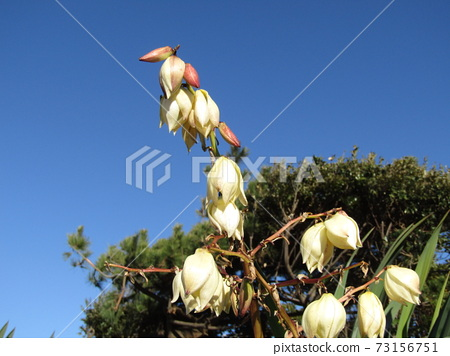 在靜鶴市盛開的菊長代蘭的白花 73156751