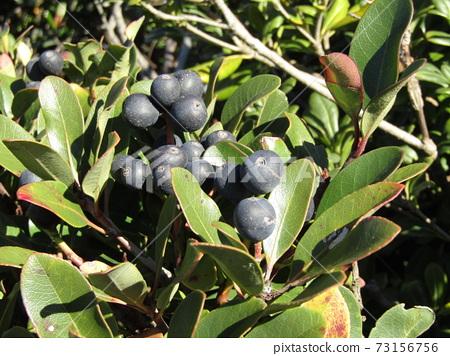 Sharimbai的成熟果實 73156756