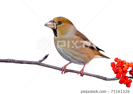 Hawfinch sitting on branch isolated on white background 73161326