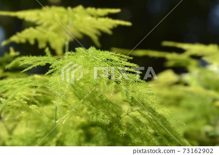 Common asparagus fern 73162902