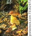 Mushrooms bolete, fungus in the woods 73162971