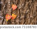 一棵樹的樹幹上秋葉的三片葉子 73168783