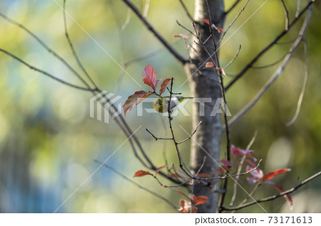 Winter white-eye staying on a deciduous tree branch 73171613