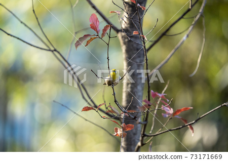 Winter white-eye staying on a deciduous tree branch 73171669