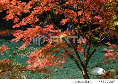 서쪽 祖谷渓 골짜기의 가을 9 (도쿠시마 현 미요시시 西祖谷山 마을) 73177007