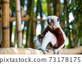 The Coquerel Sifaka in its natural environment in a national park on the island of Madagascar 73178175