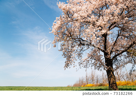 Cherry blossoms on grass field at spring in Seosan, Korea 73182266