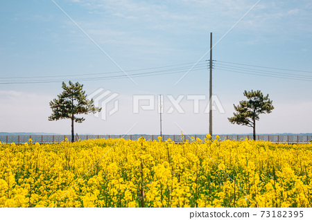 Yellow rape flower field in Seosan, Korea 73182395