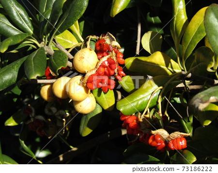 種子包裹在Tobera的紅色黏液中 73186222