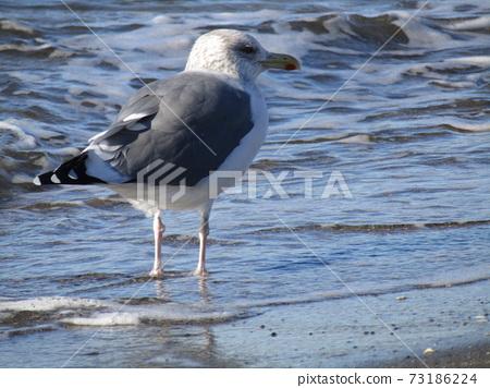 瀨戶內海鷗在神戶川海灘的沙灘上 73186224