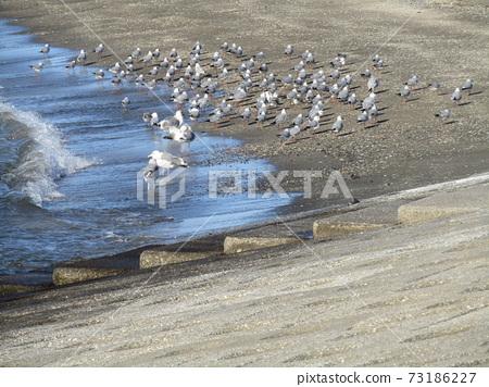 瀨戶郎海鷗和百合海鷗在瀨戶川海灘的沙灘上 73186227