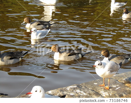 Winter migratory birds who came to Inagihama Park Park and Uricamome 73186746