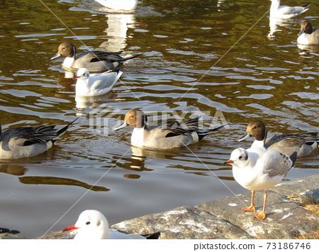 冬季候鳥來到稻垣濱公園和Uricamome 73186746