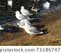 Winter migratory birds who came to Inagihama Park Park and Uricamome 73186747
