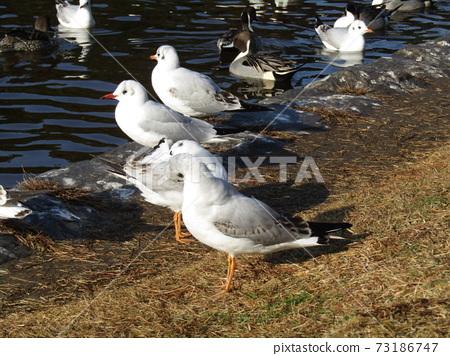 冬季候鳥來到稻垣濱公園和Uricamome 73186747