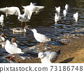 Winter migratory birds who came to Inagihama Park Park and Uricamome 73186748