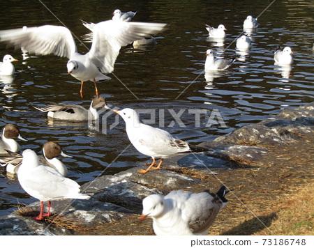 冬季候鳥來到稻垣濱公園和Uricamome 73186748
