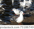 Winter migratory birds who came to Inagihama Park Park and Uricamome 73186749