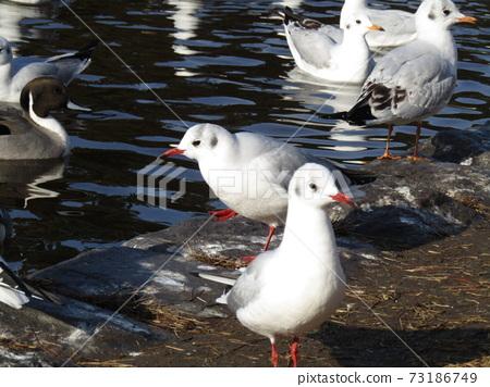 冬季候鳥來到稻垣濱公園和Uricamome 73186749