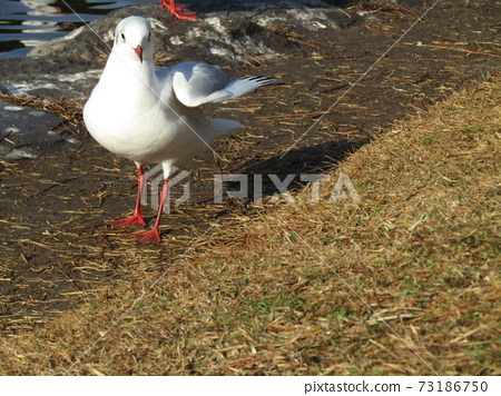 冬季遷徙的黑鷗來到Inage Kaihin公園 73186750