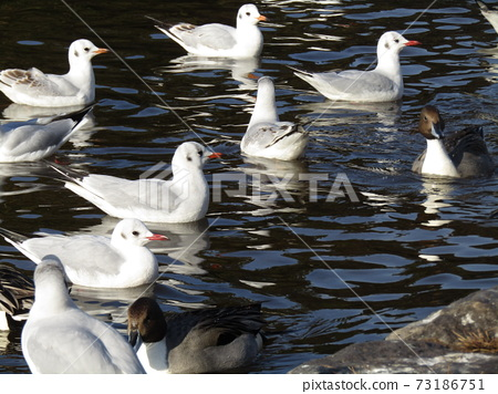 Winter migratory birds who came to Inagihama Park Park and Uricamome 73186751