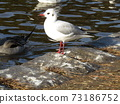 Winter migratory black gull came to Inage Kaihin Park 73186752