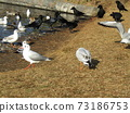 Winter migratory bird black-headed gull and jungle crow that came to Inage Seaside Park 73186753