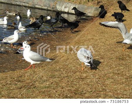 來到Inage Kaihin公園的冬季候鳥Yurikamome和村民鳥Hashibutogara 73186753