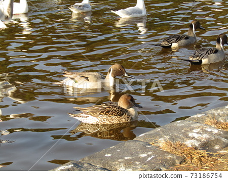 Winter migratory birds who came to Inagihama Park Park and Uricamome 73186754
