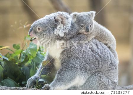 [育兒圖片]考拉的母親和孩子 73188277