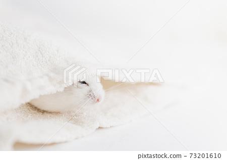 倉鼠埋在毛巾裡 73201610