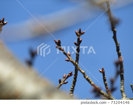Spring is approaching and I'm worried about the winter buds of cherry blossoms 73204146